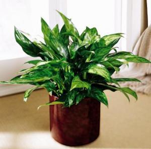 Chinese Evergreen by Suinshine Florist