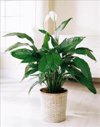 Spathiphyllum by Suinshine Florist