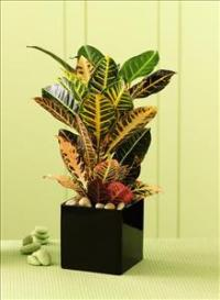 The FTD® Croton Plant by Suinshine Florist