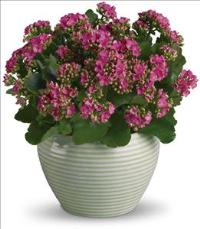 Bountiful Kalanchoe by Suinshine Florist