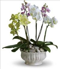 Regal Orchids by Suinshine Florist
