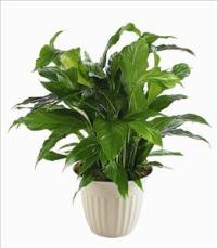 """Peace Lily"" Spathiphyllum Plant by Suinshine Florist"