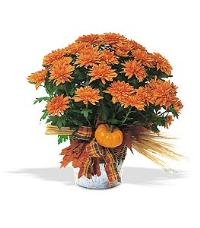 Bronze Cushion Mum Plant by Suinshine Florist