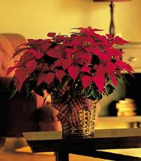 "8"" Red Poinsettia by Suinshine Florist"