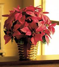"6"" Red Poinsettia by Suinshine Florist"
