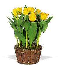 Potted Yellow Tulips by Suinshine Florist